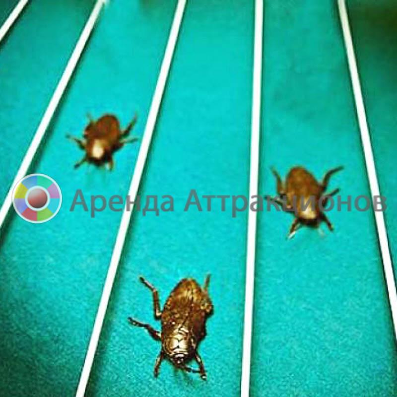 Аттракцион тараканьи бега на прокат