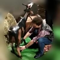 Английская коза в аренду